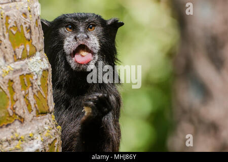 A wild saddle-backed tamarin (Saguinus fuscicollis) from Tarapoto eating something in a comical way, looking very cute. - Stock Photo