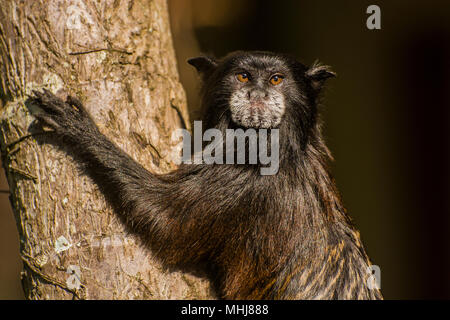 The saddle backed tamarin (Saguinus fuscicollis) is a small squirrel sized monkey from the Neotropics, this individual is from Northern Peru. - Stock Photo