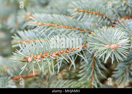 Abstract garden background - green spruce branches in close-up (selective depth of field). - Stock Photo