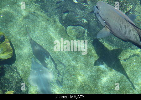 Humphead Wrasse (Cheilnus Undulatus) & Banjo Fish in Coral Lagoon - Stock Photo