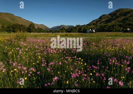 Meadow; Ragged Robin and Buttercups; Patterdale; Lake District; UK - Stock Photo
