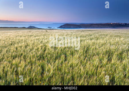 West Pentire; Wheat Crop; Cornwall; UK - Stock Photo