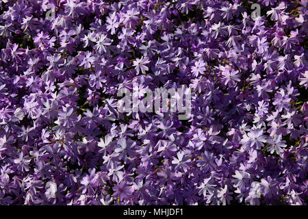 Aubrieta deltoidea is a species of flowering plant in the mustard family. Common names are lilacbush, purple rock cress and rainbow rock cress - Stock Photo