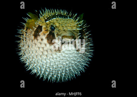 Inflated porcupine puffer ball fish isolated on black while night diving - Stock Photo