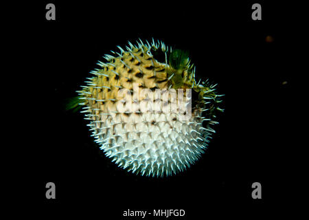 Inflated porcupine puffer ball fish - Stock Photo