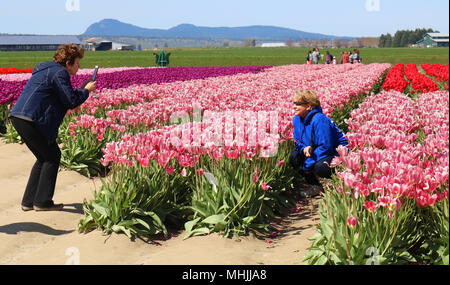 Woman posing in the field ot tulips while her friend is taking her picture at the Skagit Valley Tulip Festival in Mount Vernon, Washington, USA. - Stock Photo