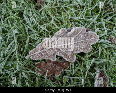 A frost covered brown oak leaf lying on frosted grass showing small ice crystals along its edges - Stock Photo