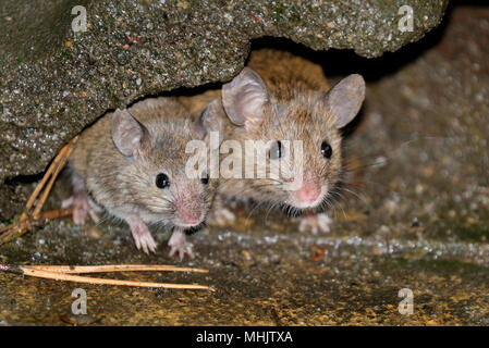 MIce feeding in urban house garden. - Stock Photo