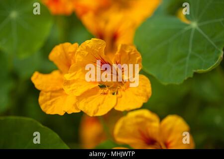 Flora of Gran Canaria -  Tropaeolum majus,  invasive plant in Canary Islands - Stock Photo