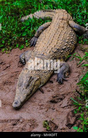 Nile crocodile in Madagascar - Stock Photo