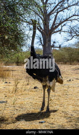 Adult ostrich from Africa - Stock Photo