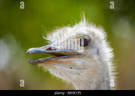 Portrait of a brainless ostrich - Stock Photo