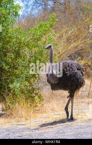 African ostrich walks in Senegal - Stock Photo