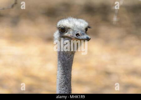 Head a brainless ostrich - Stock Photo