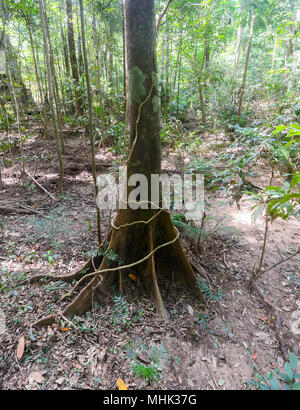 View of a liana twisted around a tree trunk in the rainforest, Clohesy River Road; Dinden National Park; Far North Queensland, FNQ, QLD, Australia - Stock Photo