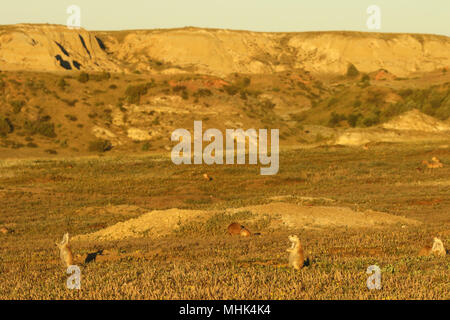 A Black-tailed Prairie Dog town in the Badlands of North Dakota. - Stock Photo