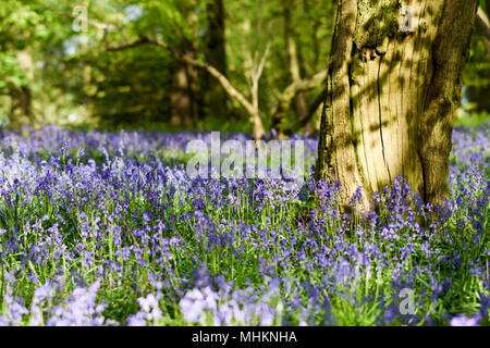 Misk Hills, Hucknall, Nottinghamshire, UK:02nd May 2018. UK Weather: After a morning of rain, evening sunlight illuminates the mass of Bluebells in a local beech and Oak deciduous woodland in Nottinghamshire. Credit: Ian Francis/Alamy Live News - Stock Photo