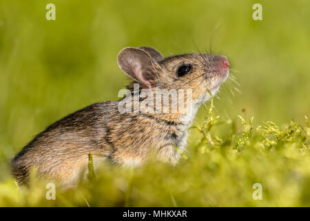 Cute looking Wood mouse (Apodemus sylvaticus) sniffing the air in green moss natural environment - Stock Photo