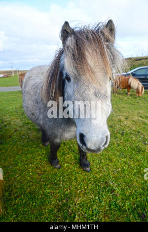 Shetland ponies looking head on - Stock Photo