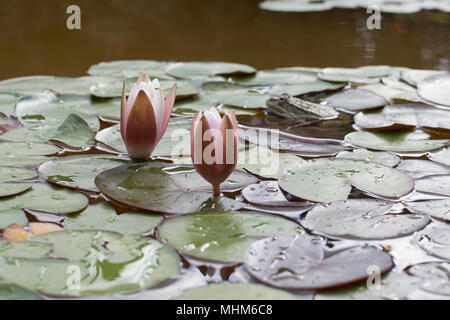 two water lilies and a frog in the lake - Stock Photo
