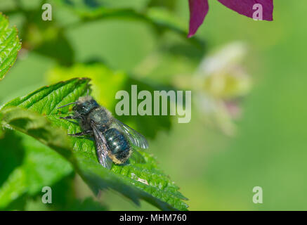A Blue Orchard Mason Bee (Osmia lignaria) resting in the sun on the green leaf of a Salmonberry bush (Rubus spectabilis). - Stock Photo
