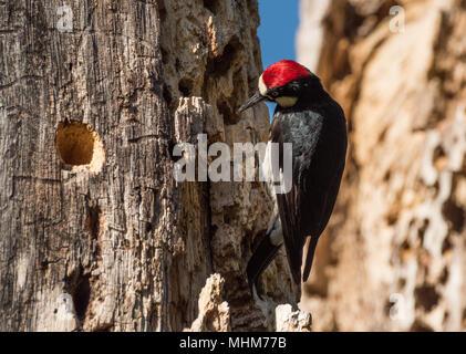 An Acorn Woodpecker (Melanerpes formicivorus) inspecting acorn storage holes in a White Oak granary tree (Quercus garryana). - Stock Photo