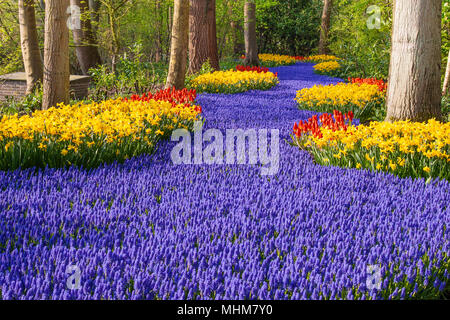 Garden scene with Muscari, Daffodils, and Tulips at Keukenhof Gardens in South Holland in The Netherlands. - Stock Photo