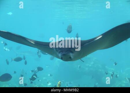 Whitespotted Eagle Ray (Aetobatus Ocellatus) amid shoal of fish - Stock Photo