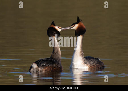 pair of Great Crested Grebes (Podiceps cristatus) fencing with their bills at the start of their courtship display - Stock Photo