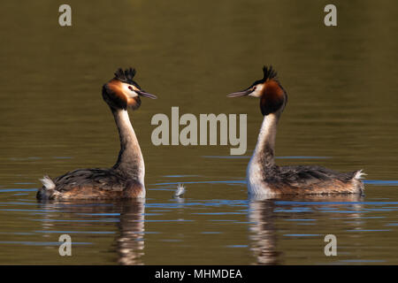 pair of Great Crested Grebes (Podiceps cristatus) facing each other at the start of their courtship display - Stock Photo