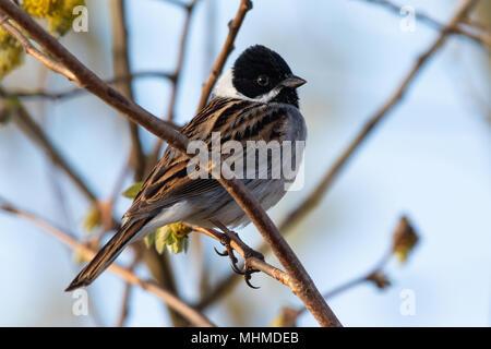 male Common Reed Bunting (Emberiza schoeniclus) - Stock Photo