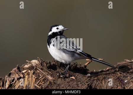 male Pied Wagtail (Motacilla alba yarrellii) standing on top of a manure heap - Stock Photo