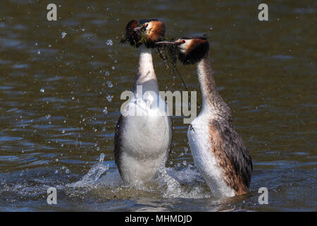 pair of Great Crested Grebes (Podiceps cristatus) dancing on the surface of a lake during their courtship display with aquatic plants in their bills - Stock Photo