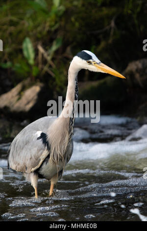 Grey Heron (Ardea cinerea) fishing in deep, white-water rapids of a river - Stock Photo