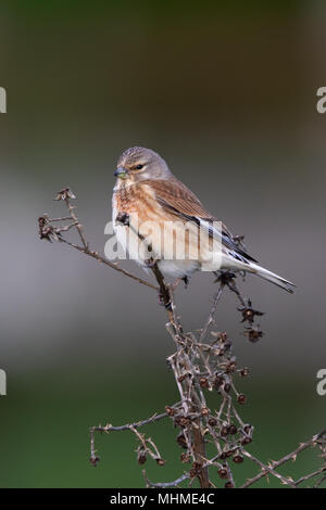 female Common Linnet (Linaria cannabina) perched on a dead plant stem