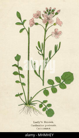 LADY'S SMOCK, or CUCKOO FLOWER, or MEADOW CRESS      Date: early 20th century - Stock Photo
