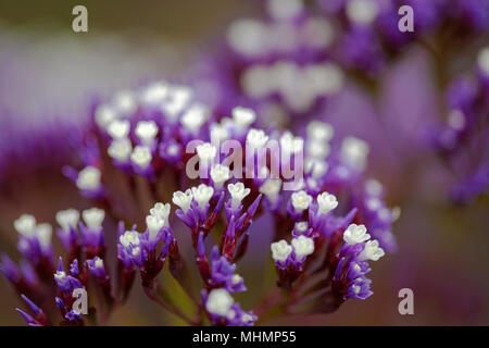 small purple and white Limonium flowers natural macro backgroun - Stock Photo
