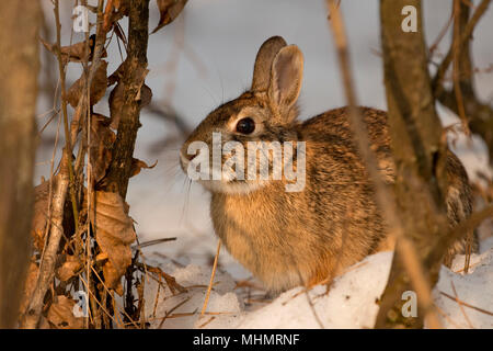 A rabbit in the snow - Stock Photo