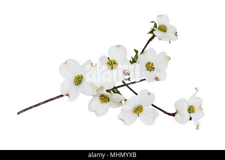 Flowering dogwood blossoms and branch isolated against a white background. Clipping path included. - Stock Photo