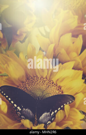 Retro image of a Clouded sulphur butterfly feeding from beautiful sunflowers. - Stock Photo
