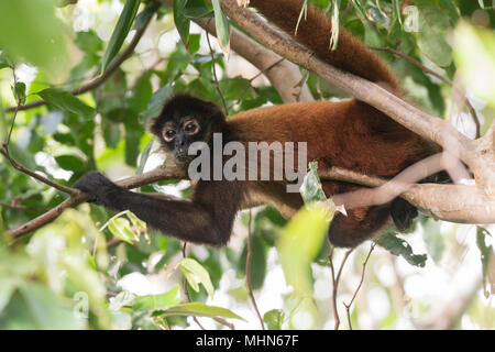 Central American Spider Monkey, Ateles geoffroyi, Cebidae, Corcovado National Park, Costa Rica, Centroamerica - Stock Photo