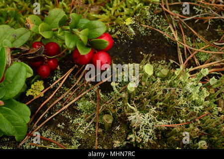 berry bush of  red cowberry on an old tree stump in the green moss its natural  beauty bright colors of nature background - Stock Photo
