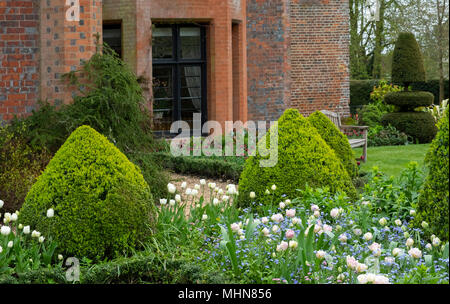 Tulipa 'Angelique' underplanted with Myosotis and Tulipa 'Polychroma' surrounded by box topiary at Chenies Manor Gardens, Rickmansworth, Buckinghamshi - Stock Photo