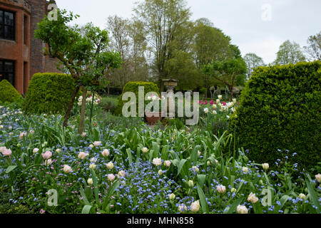 Tulipa 'Angelique' underplanted with Myosotis at Chenies Manor Gardens, Rickmansworth, Buckinghamshire, UK, April - Stock Photo