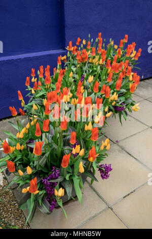 Vibrant coloured tulips and hyacinths growing in a garden pot against a warm blue background in a contemporary garden, England, UK - Stock Photo