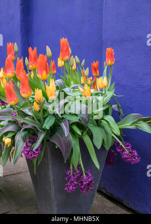 Vibrant coloured tulips and hyacinths growing in a garden pot against a warm blue background, England, UK - Stock Photo
