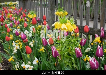 Selection of spring flowering bulbs growing outdoors in an english garden, including tulip, daffodil and Fritillaria, April, England UK - Stock Photo