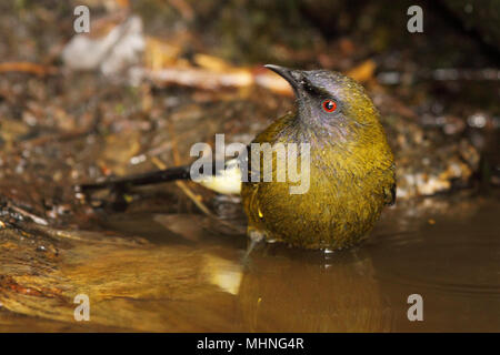 An endangered and endemic Bellbird looking up from a pool of water in New Zealand. - Stock Photo