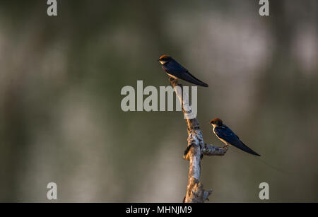 Two swallows sitting on top of a wood log in a wetland during sunset - Stock Photo