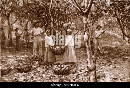 Cacao (Cocoa) harvesting in Ecuador.     Date: circa 1930s Stock Photo